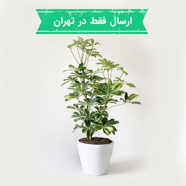 شفلرا یا گیاه چتری