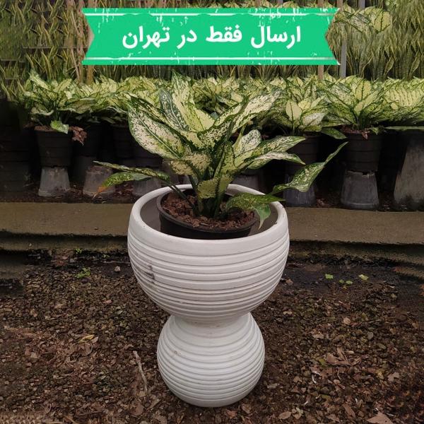 گیاه آگلونما