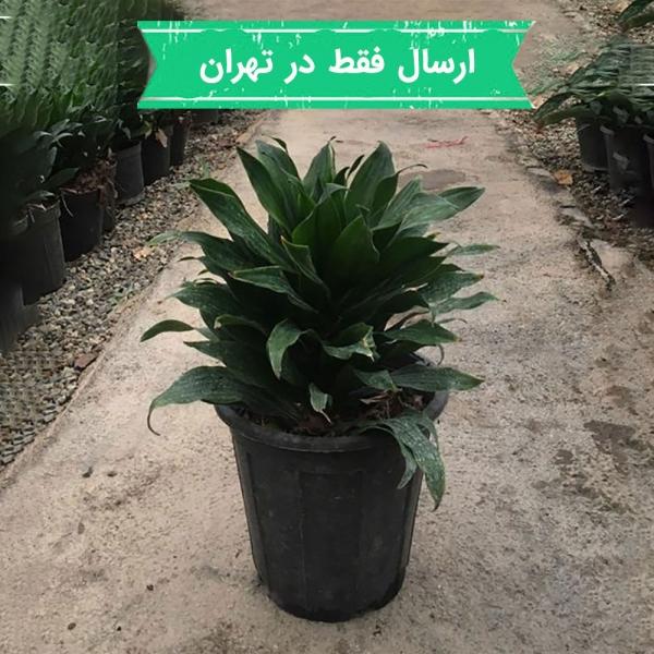 گیاه دراسنا کامپکت