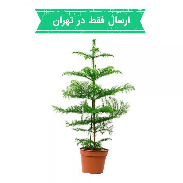 گیاه کاج مطبق