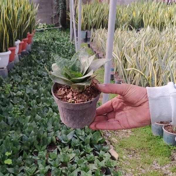گیاه سانسوریا پاکوتاه در سایزهای مختلف
